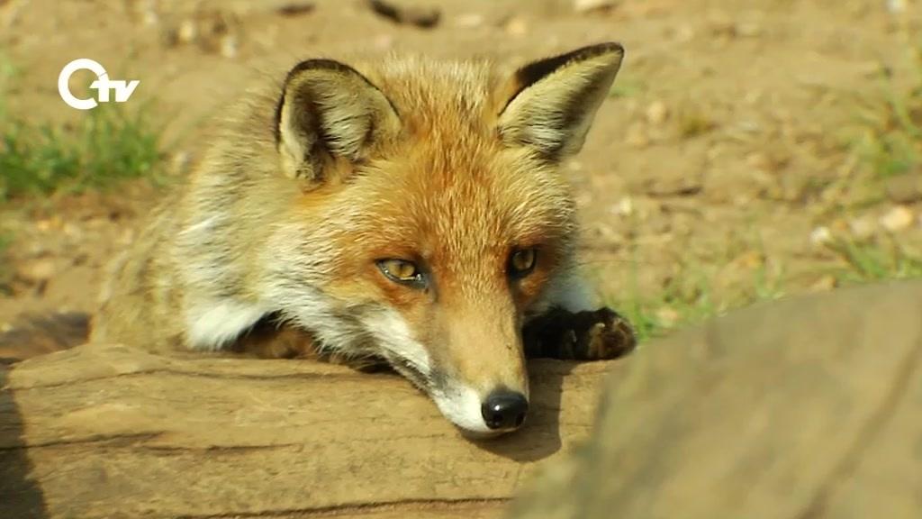 Tierisches Ein Fuchs Als Haustier Oberpfalz Tv